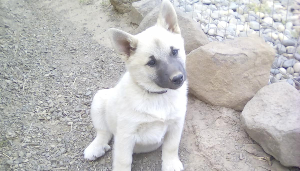 Norwegian Buhund Puppies For Sale Goldendale Wa 143726