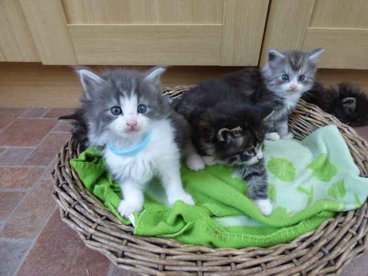 Norwegian Forest Cats For Sale In California