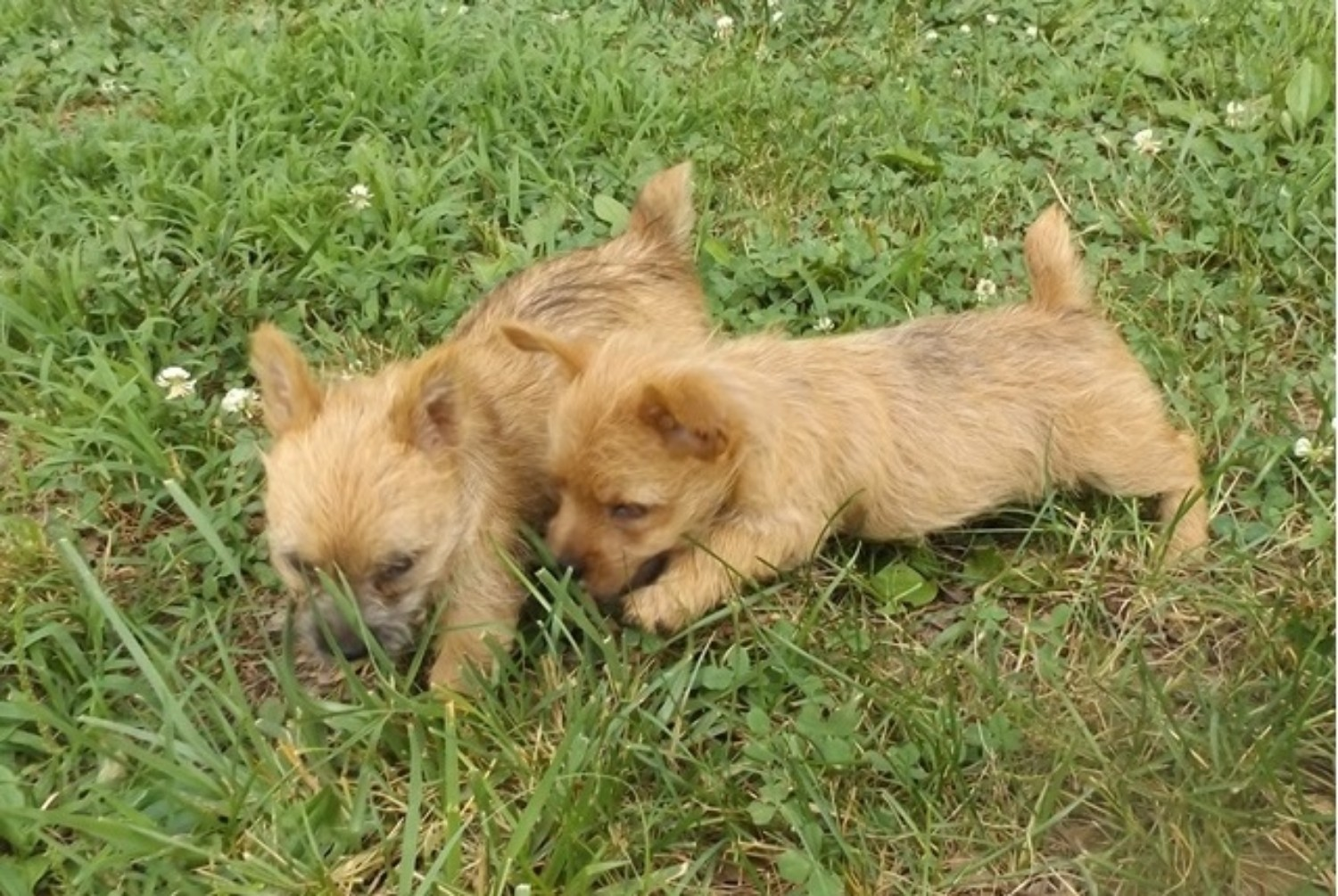Norwich Terrier vs West Highland White Terrier - Breed ...