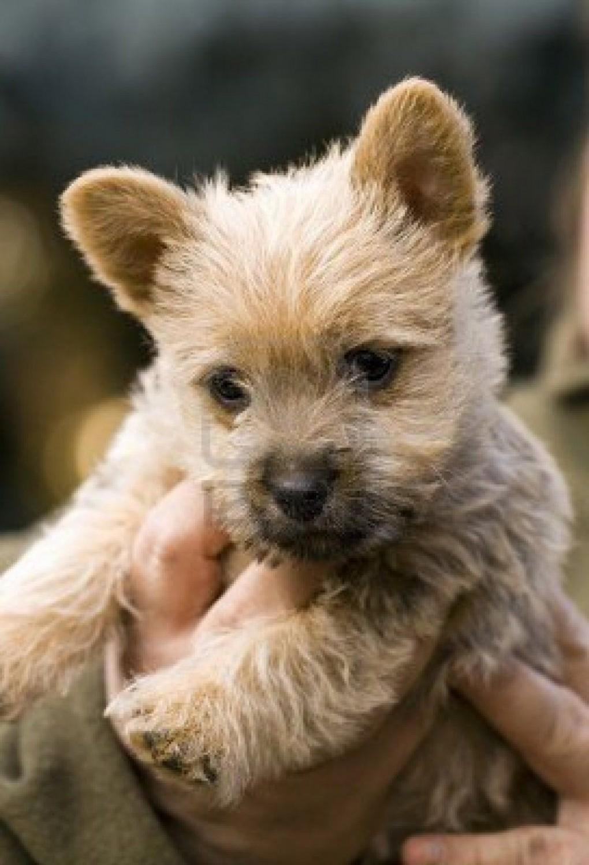 Norwich Terrier vs Cairn Terrier - Breed Comparison