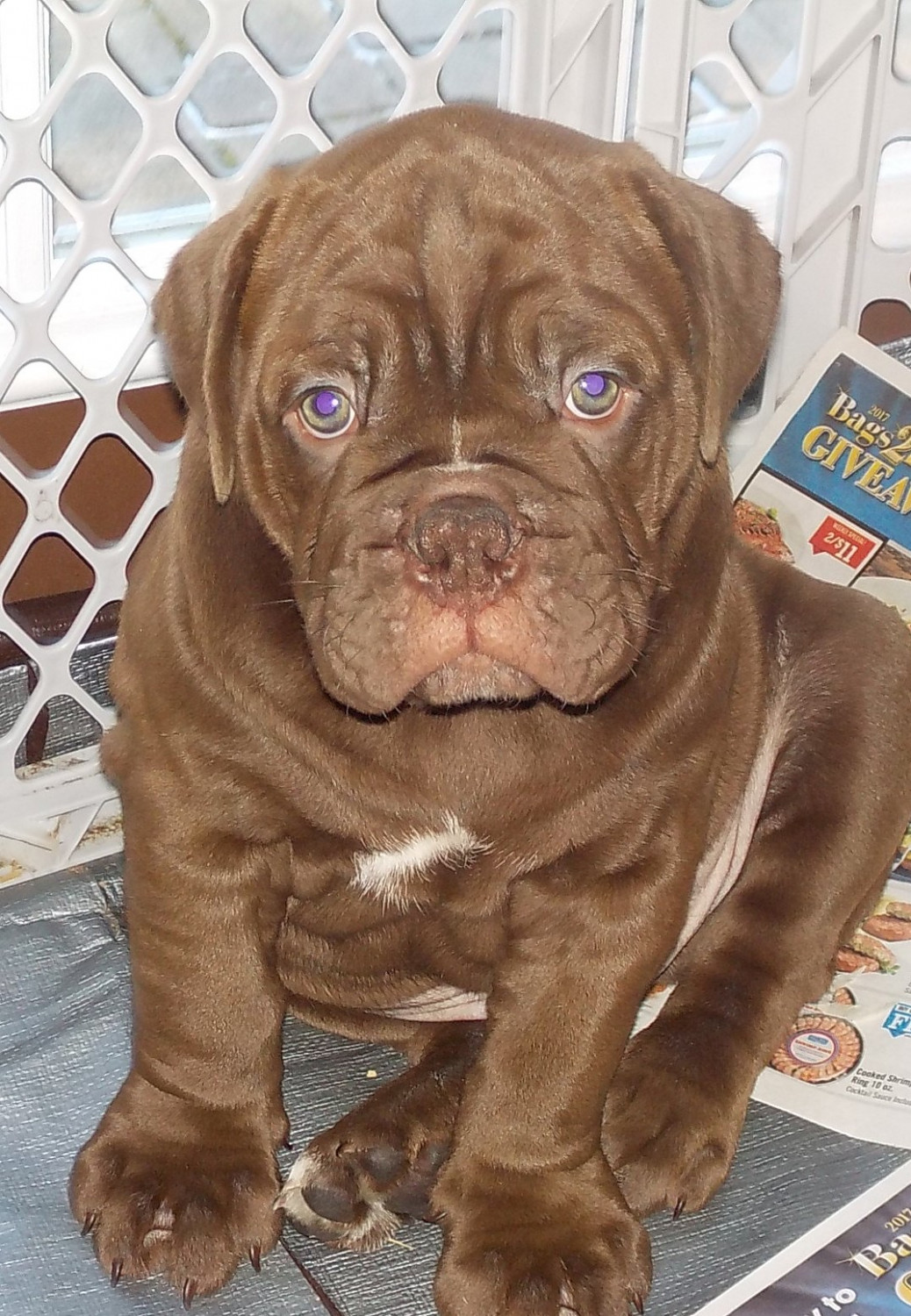 Old English Bulldog Puppies For Sale | Athens, PA #185080