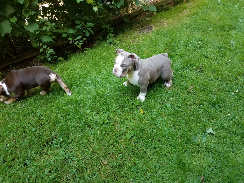 Puppies Rochester Ny