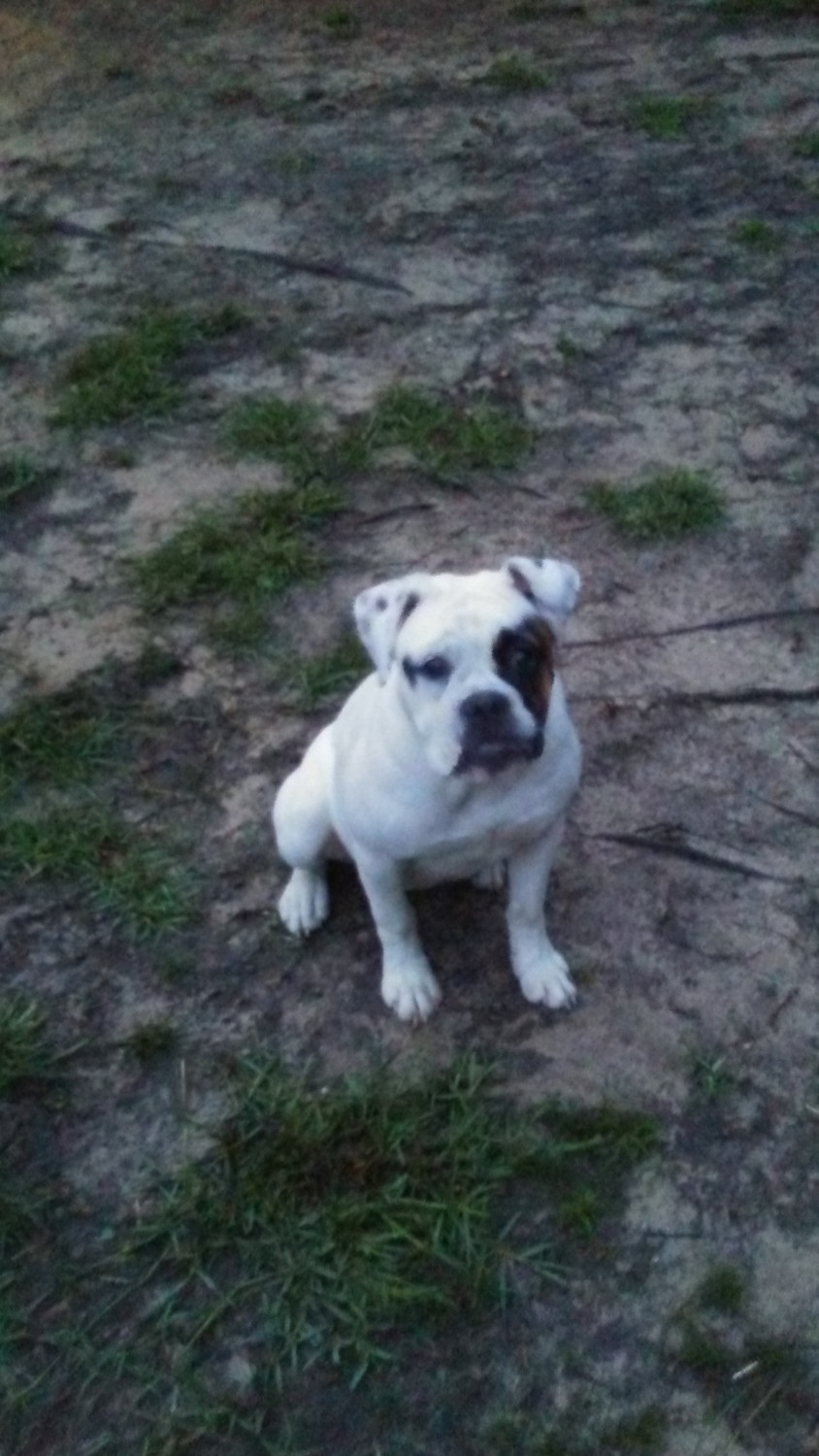 english bulldog puppies for sale in mississippi old english bulldog puppies for sale picayune ms 278920 6945