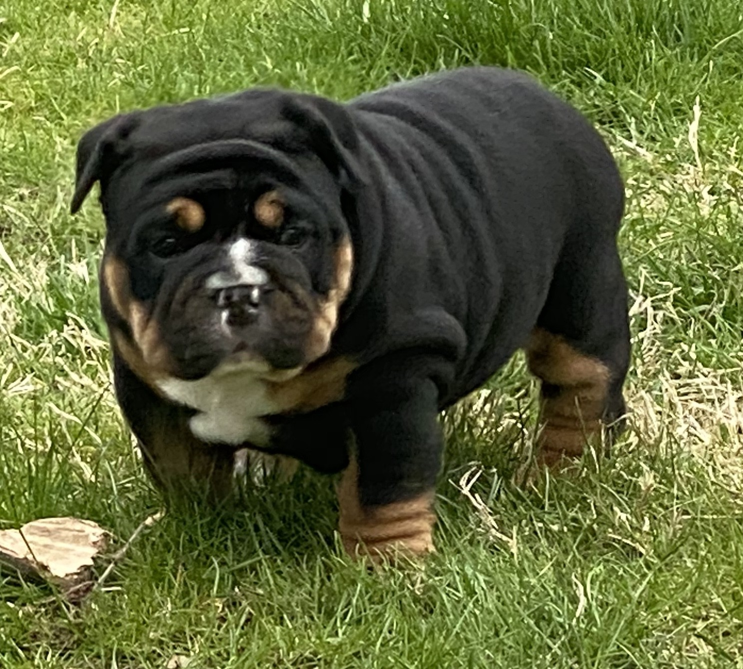 Old English Bulldog Puppies For Sale | Geneseo, IL #327026