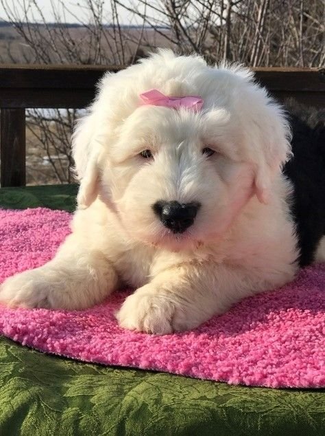 Old English Sheepdog Puppies For Sale   California Street