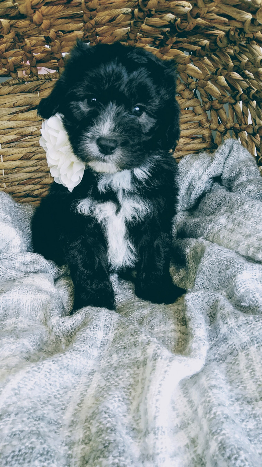 Old English Sheepdog Puppies For Sale Sugarcreek Oh 290962