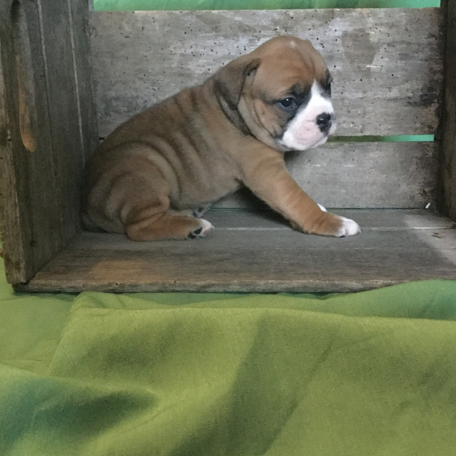 Olde English Bulldogge Puppies For Sale Mansfield Oh 260268