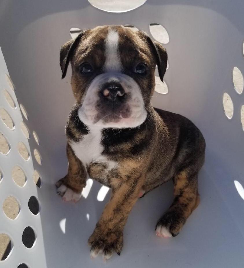 Olde English Bulldogge Puppies For Sale   Peoria, AZ #287324
