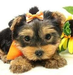 Yorkshire Terrier Puppies For Sale | Pittsburgh, PA #65820