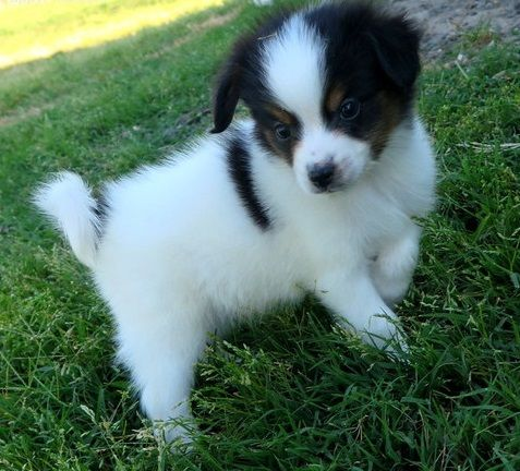 Papillon puppies for sale new york ny 194060 petzlover for Papillon new york