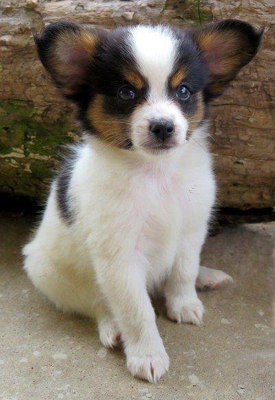 Papillon Puppies For Sale Houston Tx 246658 Petzlover