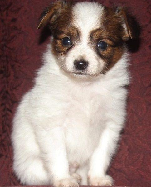 Papillon Puppies For Sale Piedmont Ca 286194 Petzlover