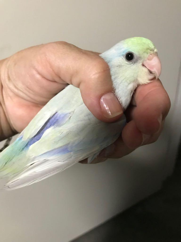 Parrotlet Birds For Sale | Cape Coral, FL #286097