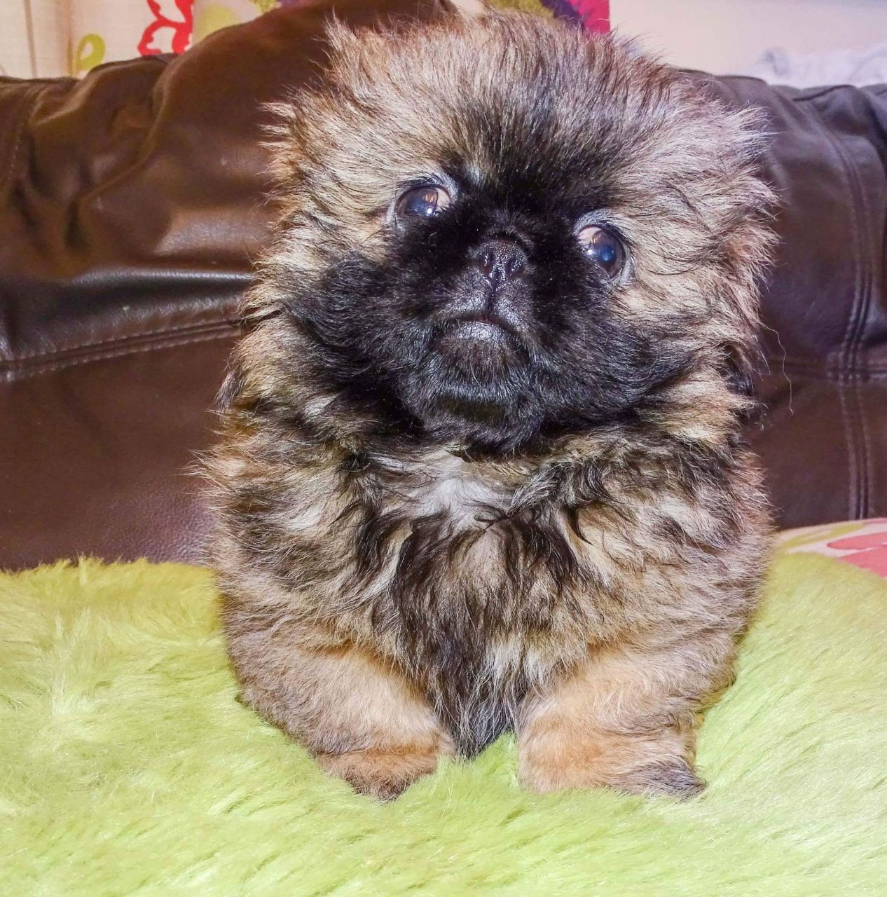 Buy Pekingese Puppies For Sale In Florida USA