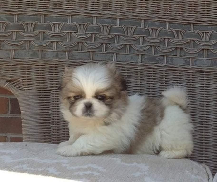 Buy Pekingese Puppies For Sale South Carolina USA