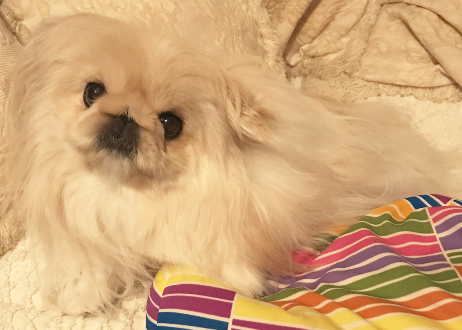 Buy Pekingese Puppies For Sale In New York USA