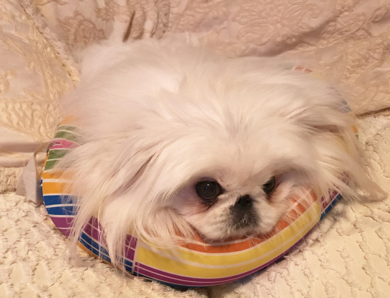 Buy Pekingese Puppies For Sale West Virginia USA