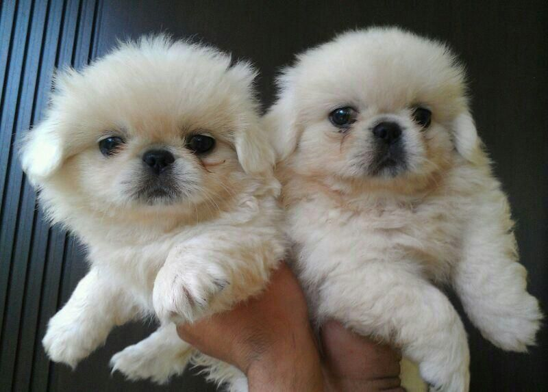 4 adorable Pekingese puppies for sale in Montana USA