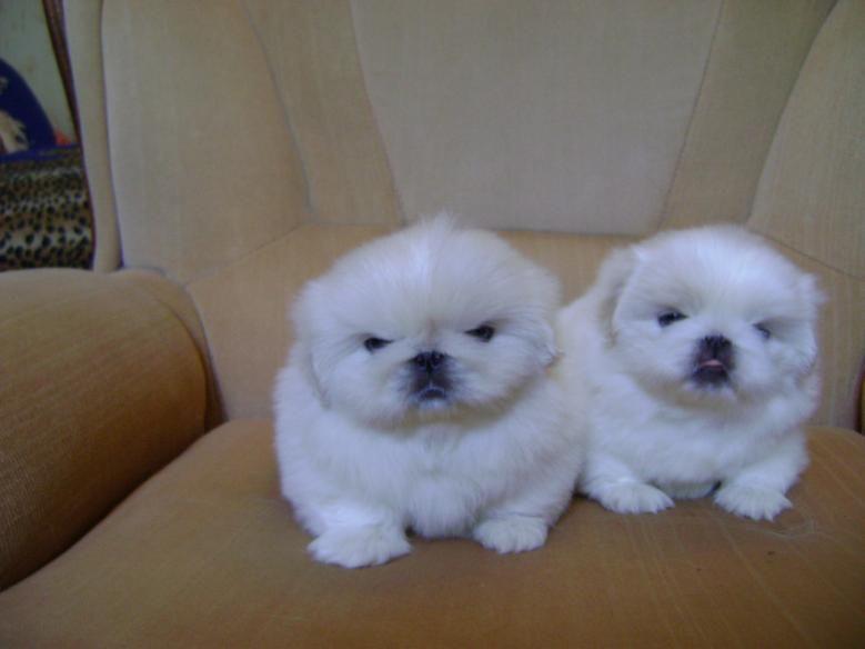 Buy Pekingese Puppies For Sale Nebraska USA