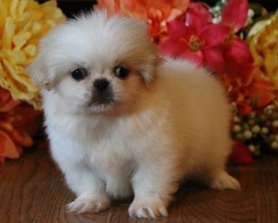 Buy Pekingese Puppies For Sale Idaho USA