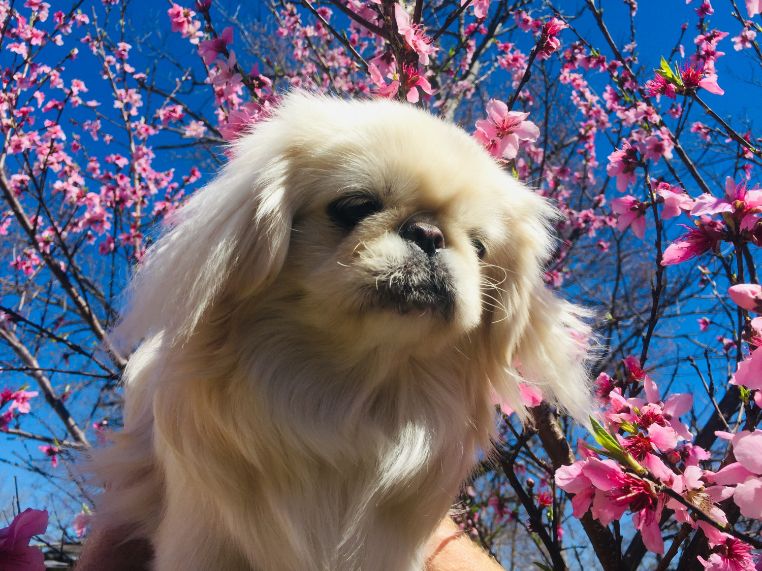 Buy Pekingese Dog Puppies For Sale In Manitoba Canada