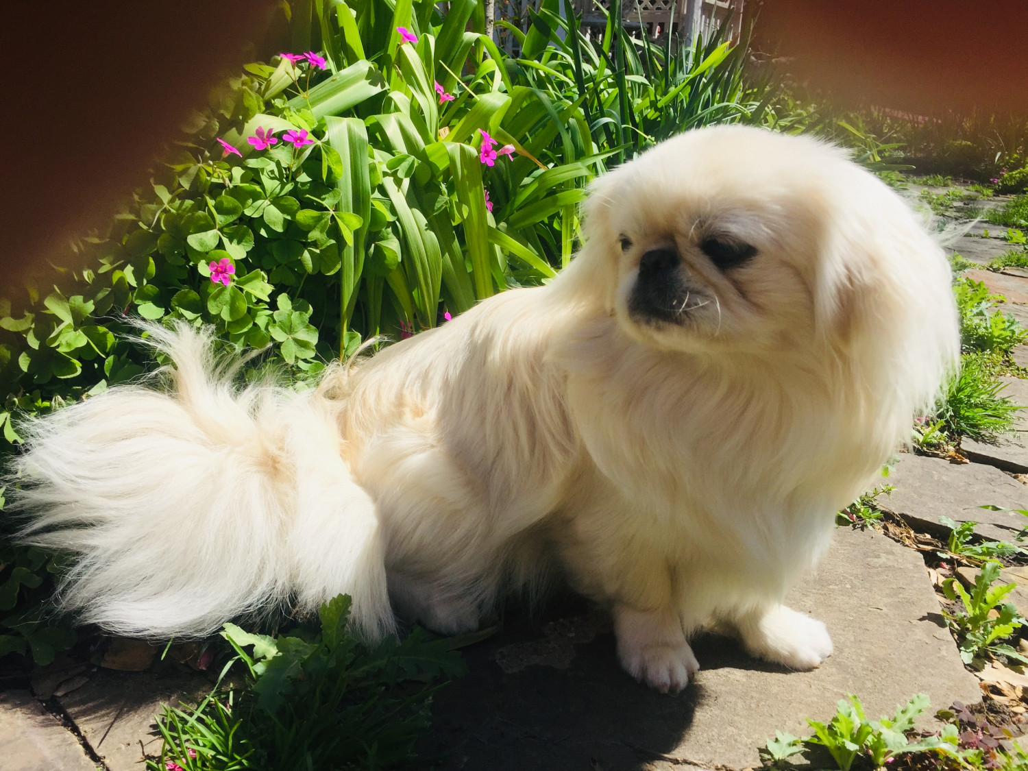 Pekingese Puppies for Sale in Vermont USA