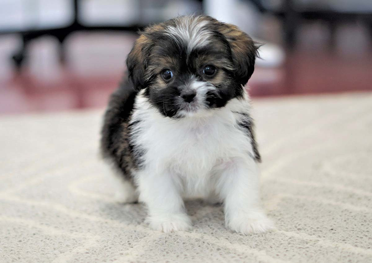 Pekingese Puppies dog for Adoption in Delaware USA