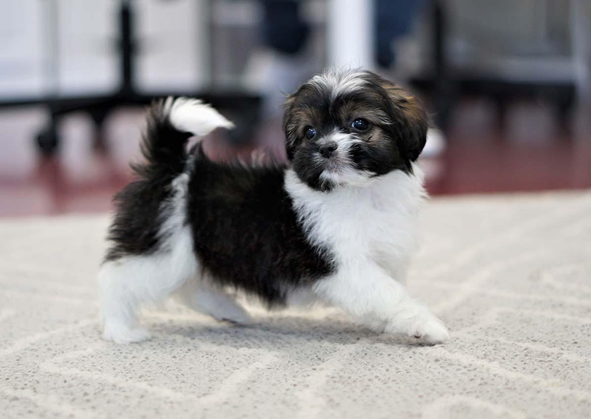 Purebred Pekingese Puppies For Sale Colorado USA