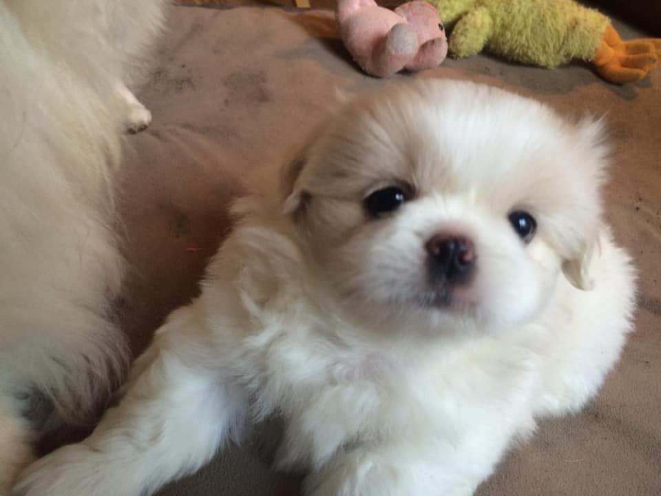 Pekingese Puppies For Sale for sale in Moose Jaw, Saskatchewan Canada