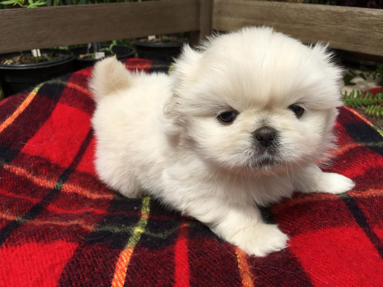Buy Pekingese Puppies For Sale In Illinois USA