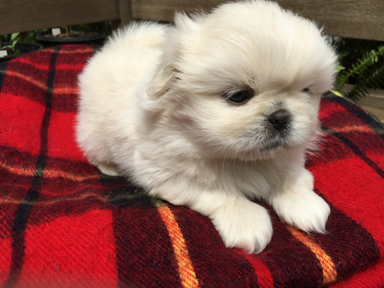 Charming Pekingese Puppies for sale in New Hampshire USA