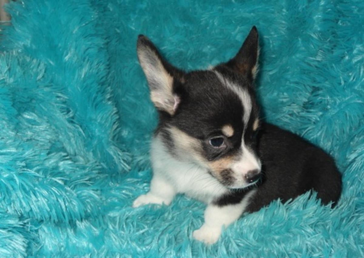 Pembroke Welsh Corgi Puppies For Sale Pueblo Co 92252