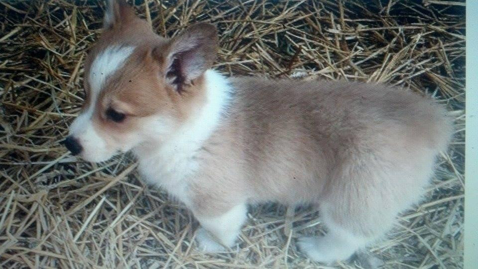 Pembroke Welsh Corgi Puppies For Sale Indianapolis In 123331