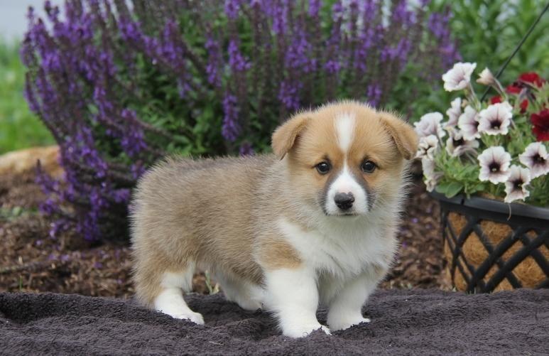 Madison : Corgi puppies for adoption in texas