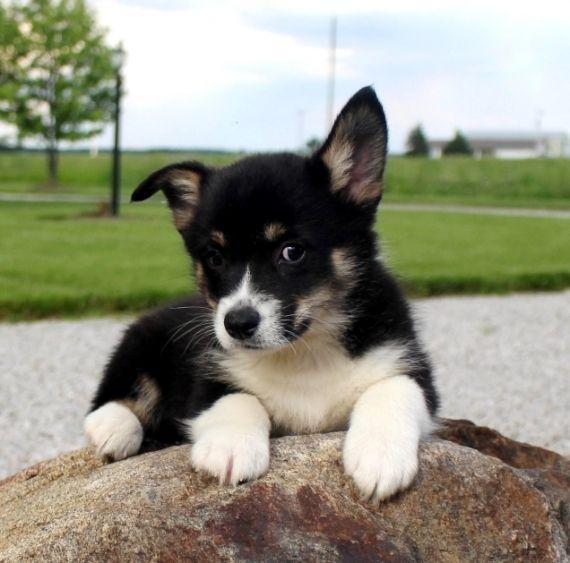 Pembroke Welsh Corgi Puppies For Sale Philadelphia Pa 236909