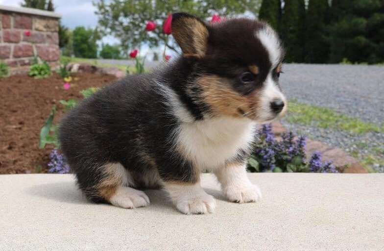 Corgi puppies for sale mo