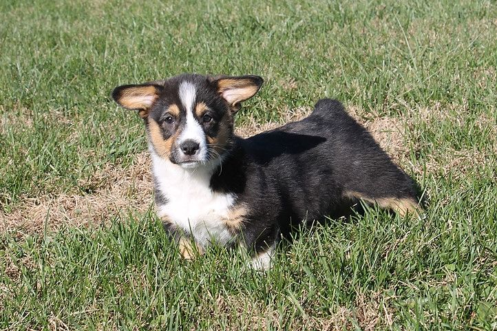 Pembroke Welsh Corgi Puppies For Sale   Idaho Falls, ID #254296