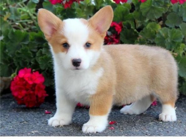 Pembroke Welsh Corgi Puppies For Sale Douglasville Ga 285024