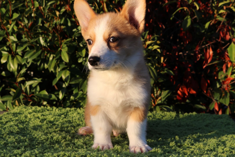 Pembroke Welsh Corgi Puppies For Sale   Valley Springs, CA ...