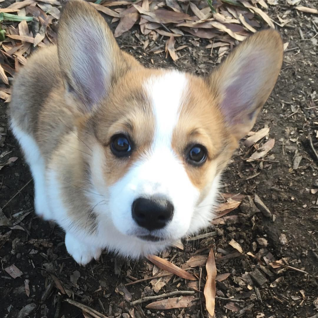 Pembroke Welsh Corgi Puppies For Sale Abilene Tx 285818