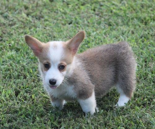 Pembroke Welsh Corgi Puppies For Sale Philadelphia Pa 236911