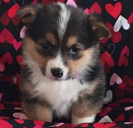 Pembroke Welsh Corgi Puppies For Sale Denver Co 285459
