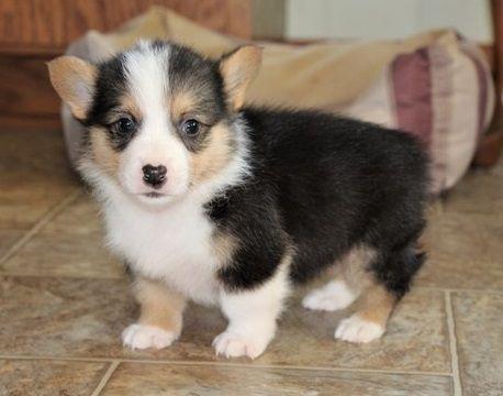 Pembroke Welsh Corgi Puppies For Sale Duluth Street Mn 295658