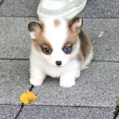 Teacup Pembroke Welsh Corgi
