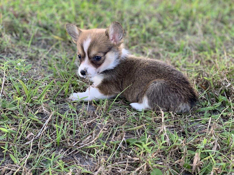 Pembroke Welsh Corgi Puppies For Sale | Brooksville, FL ...
