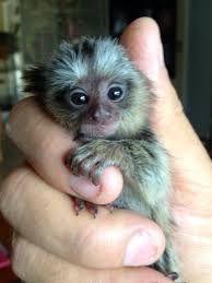 pygmy marmoset monkey baby
