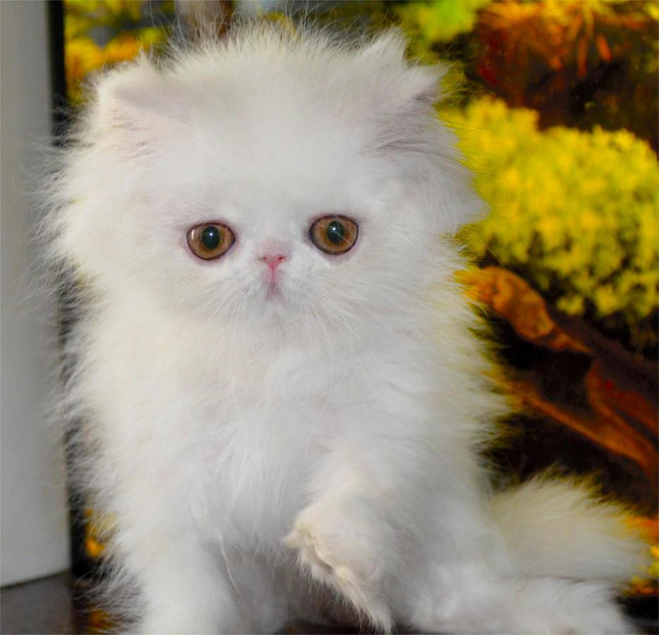Persian Cats For Sale   Tallahassee, FL #139810   Petzlover