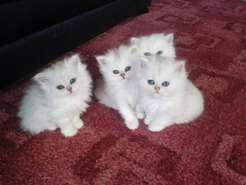 persian cats for sale indiana