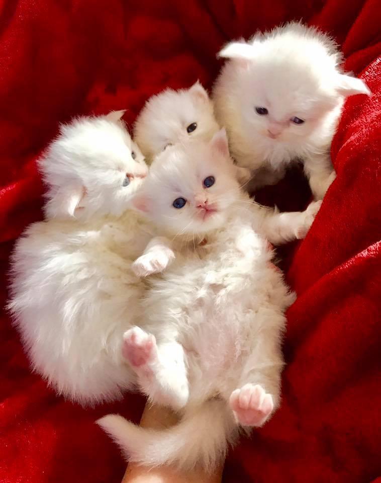 Persian Kittens For Sale In Nj