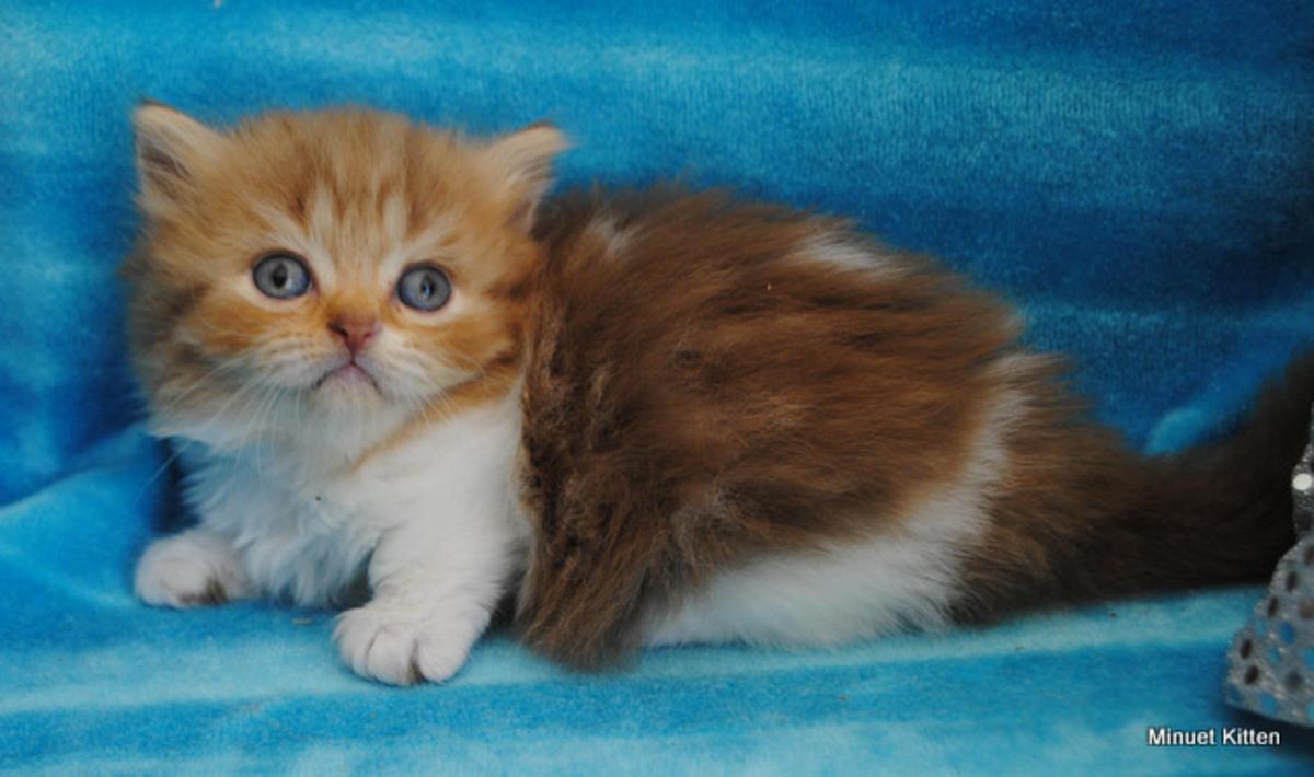Persian Cats For Sale | Ashburn, VA #232724 | Petzlover